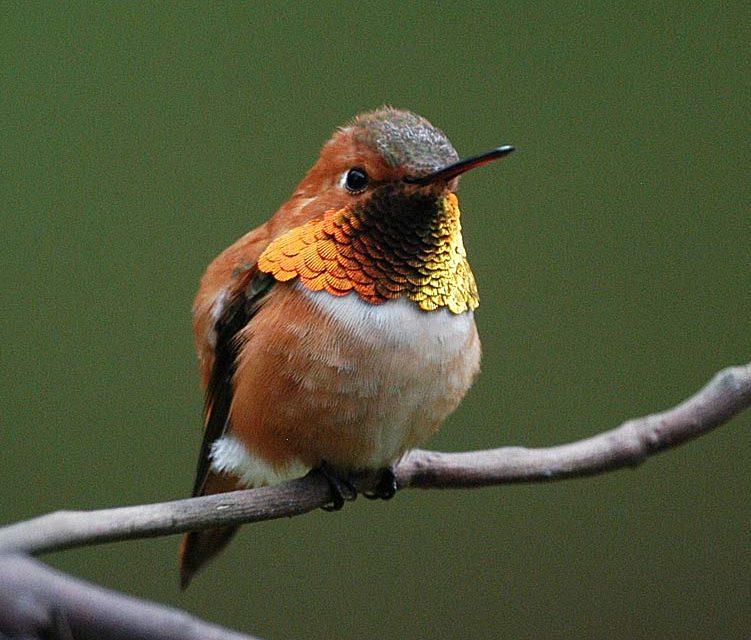 Hummingbirds of Cadboro Bay